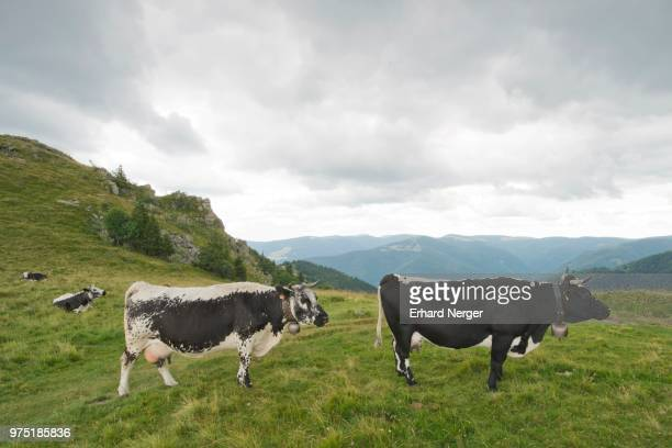 vosges cattle (bos primigenius taurus), rare endangered breed of cattle, vosges, alsace-lorraine, france - bos stock pictures, royalty-free photos & images