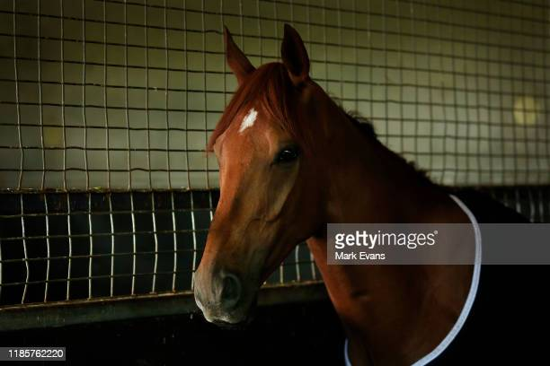 Vow And Declare looks on in the stables during the Melbourne Cup Winning media opportunity at Danny O'Brien Racing's Stables on November 06 2019 in...