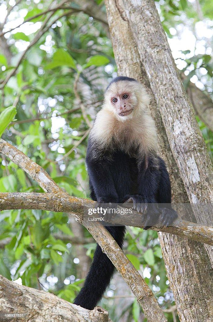 Voyer monkey