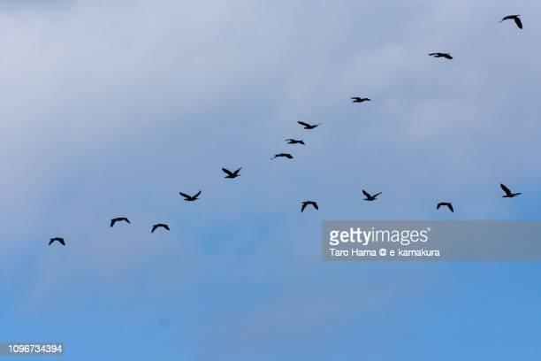 V-shape of seagulls flying in the blue sky in Japan