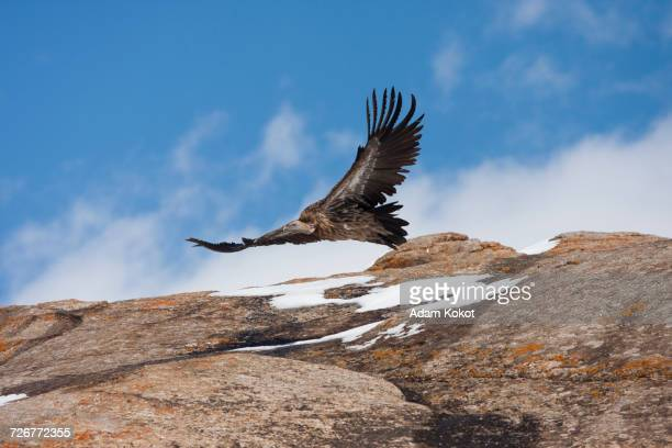 A Vulture Flies Low Over A Stone Outcropping In Kyrgyzstan