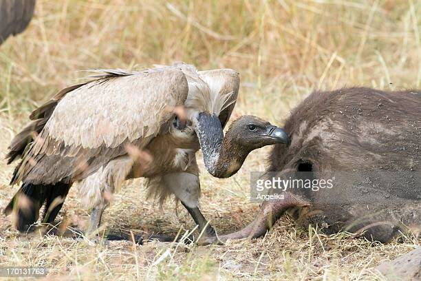 Vulture Sie eine Mahlzeit, Masai Mara-Park, Kenia