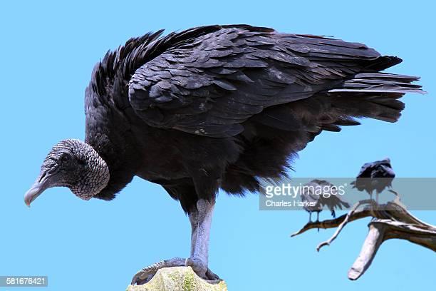 Vulture in detailed portrait