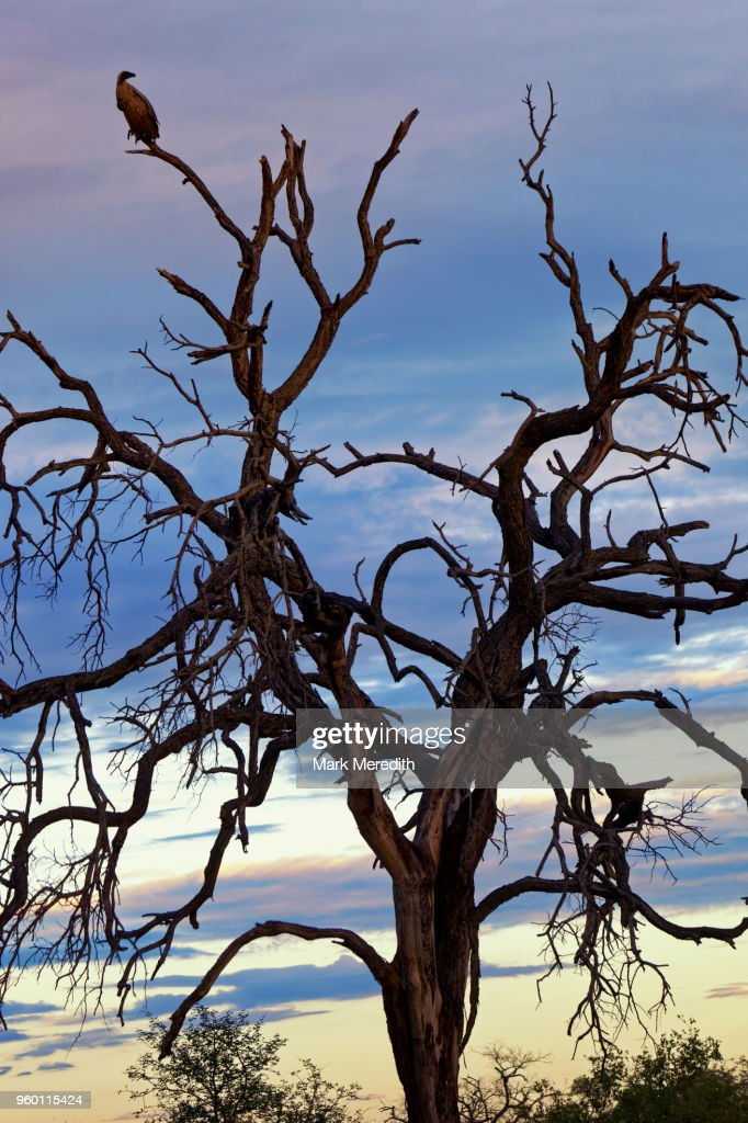 Vulture in skeleton tree. Elephants kill trees by ripping off the bark allowing bugs in which ultimately dooms them, in the Klaserie Reserve, Greater Kruger National Park : Stock-Foto
