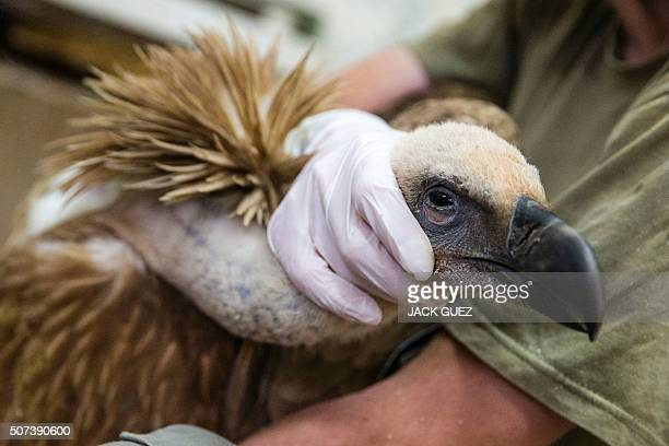A vulture is held by a medical staff member after receiving treatment at a veterinary clinic in the Wildlife Hospital of Ramat Gan Zoo Safari near...