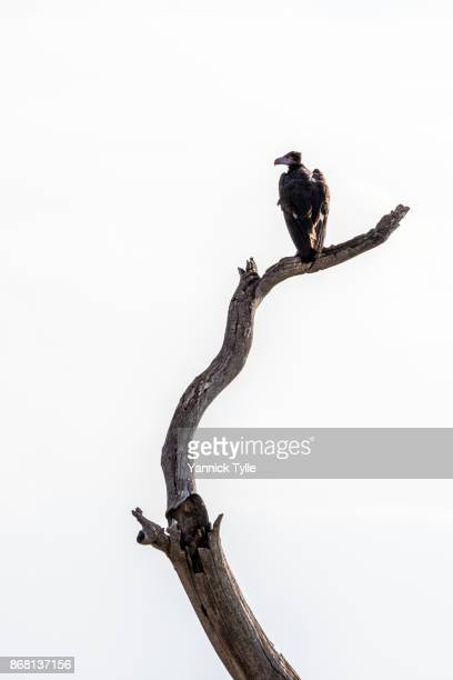 vulture on a dead tree - snag tree stock pictures, royalty-free photos & images