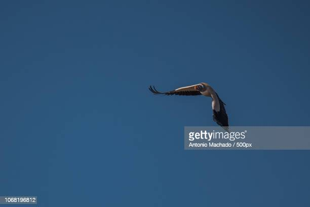 Vulture on clear sky