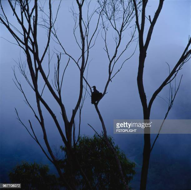 Vulture on tree branch with fog