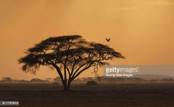 Vulture over acacia at sunset
