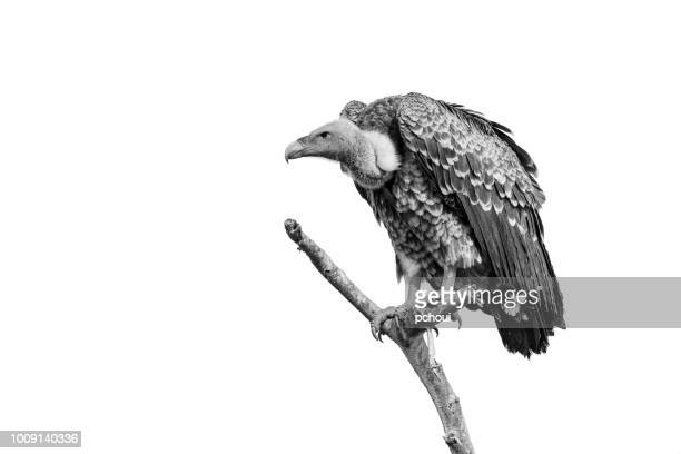 vulture perching, black and white, africa - perching stock photos and pictures