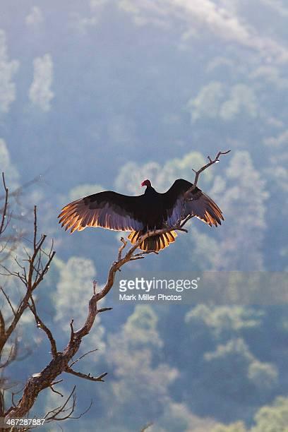 vulture- pinnacles national park, california, usa - california condor - fotografias e filmes do acervo