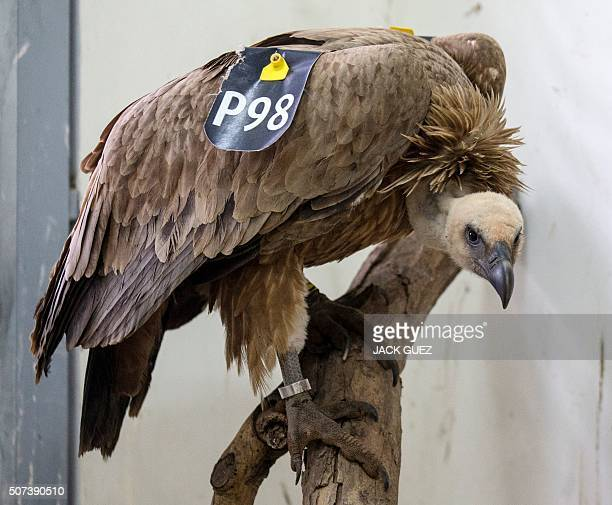 A vulture stands on a tree branch after receiving treatment at a veterinary clinic in the Wildlife Hospital of Ramat Gan Zoo Safari near Tel Aviv on...