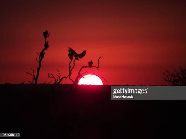 Vulture sunset silhouette