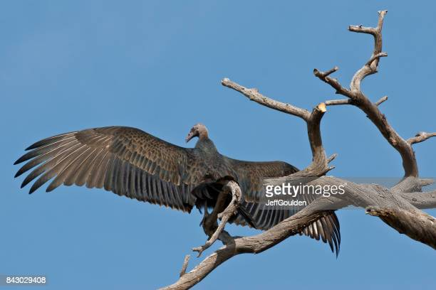 Vulture with Wings Spread