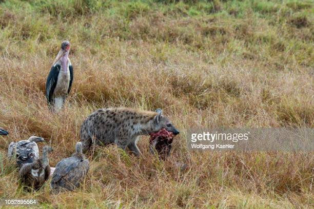 Vultures and a marabou stork feeding on a dead wildebeest killed by a spotted hyena in the Masai Mara National Reserve in Kenya