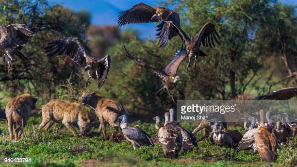 Vultures and hyenas feeding at a zebra kill.