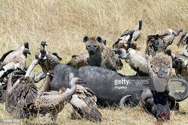 Vultures and Hyenas, Masai Mara National Park, Kenya