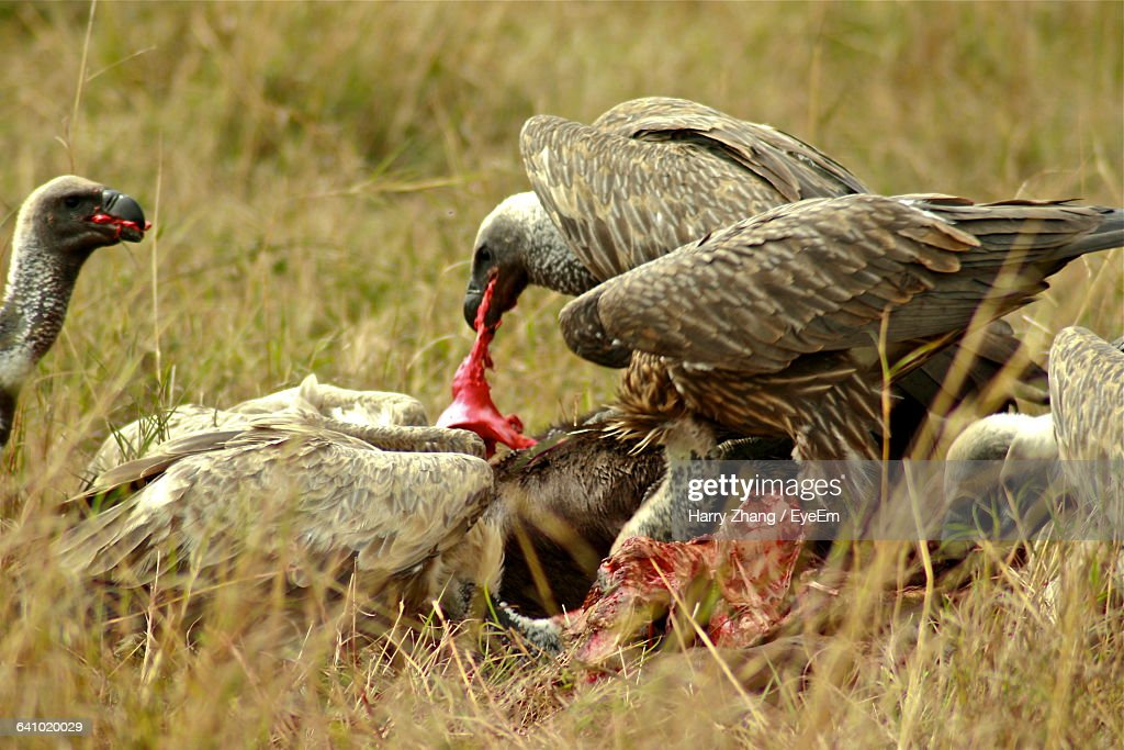 Vultures Eating Dead A...