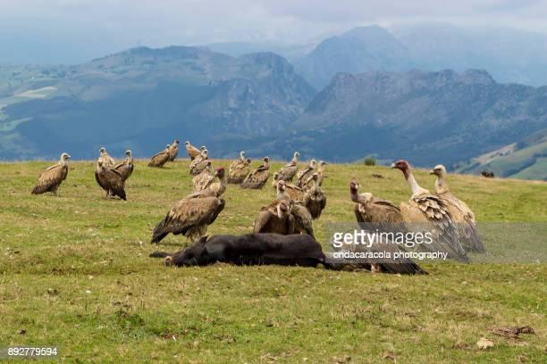 Vultures eating