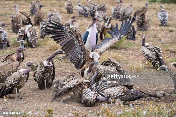 vautours manger zèbre, afrique - marabout photos et images de collection