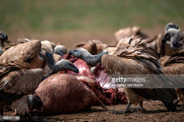 Vultures feed on a carcass at the VulPro Vulture Rehabilitation Centre in Hartebeepoortdam in the Magalisburg region on September 15 2015 Confined to...