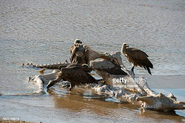 Vultures feeding on remains of a dead giraffe at the Sand River in the Sabi Sands Game Reserve adjacent to the Kruger National Park in South Africa