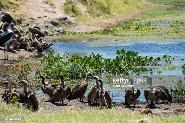 vultures in kenya - kenya newman stock pictures, royalty-free photos & images
