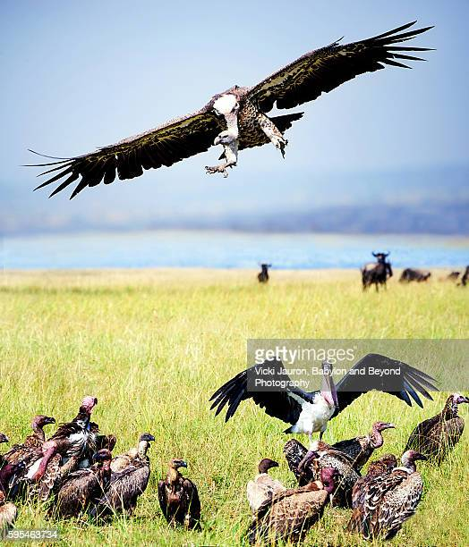 Vultures Landing to Feed on Carcass in Serengeti