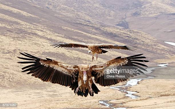 Vultures preparing to eat pieces of a body are seen during a celestial burial ceremony on April 19 2006 in Dari County of Guoluo Prefecture Qinghai...