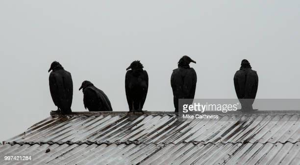 vultures silhouette - mike caithness stock pictures, royalty-free photos & images