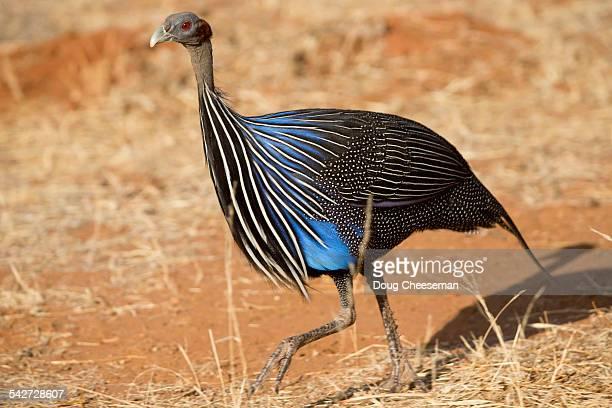 Vulturine Guineafow