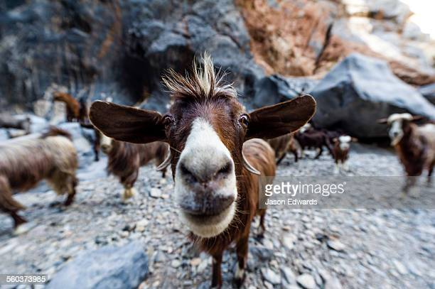 A herd of domestic goats come to drink in a waterhole in a desert gorge.