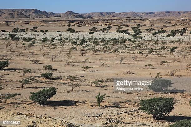 Wadi Dawqah incense tree cultures UNESCO world cultural heritage / natural heir Boswellia Sacra Carterii with Salalah Oman