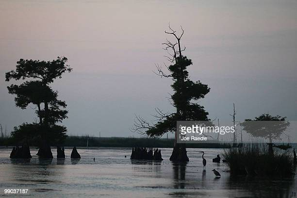 Wading birds are seen in the marshland as efforts continue to contain BP's massive oil spill on May 11 2010 in Venice Louisiana Oil is still leaking...