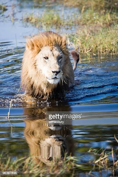 infantil león macho - animal macho fotografías e imágenes de stock
