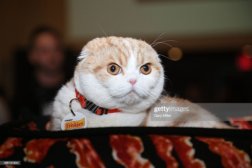 Waffles the cat attends South by Southwest at Haus of Bacon on March 13, 2015 in Austin, Texas.