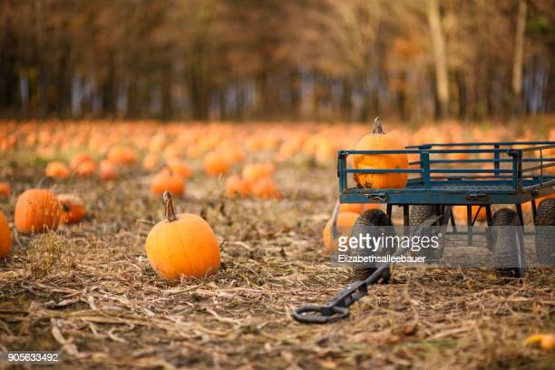 a wagon in a pumpkin field - pumpkin patch stock photos and pictures