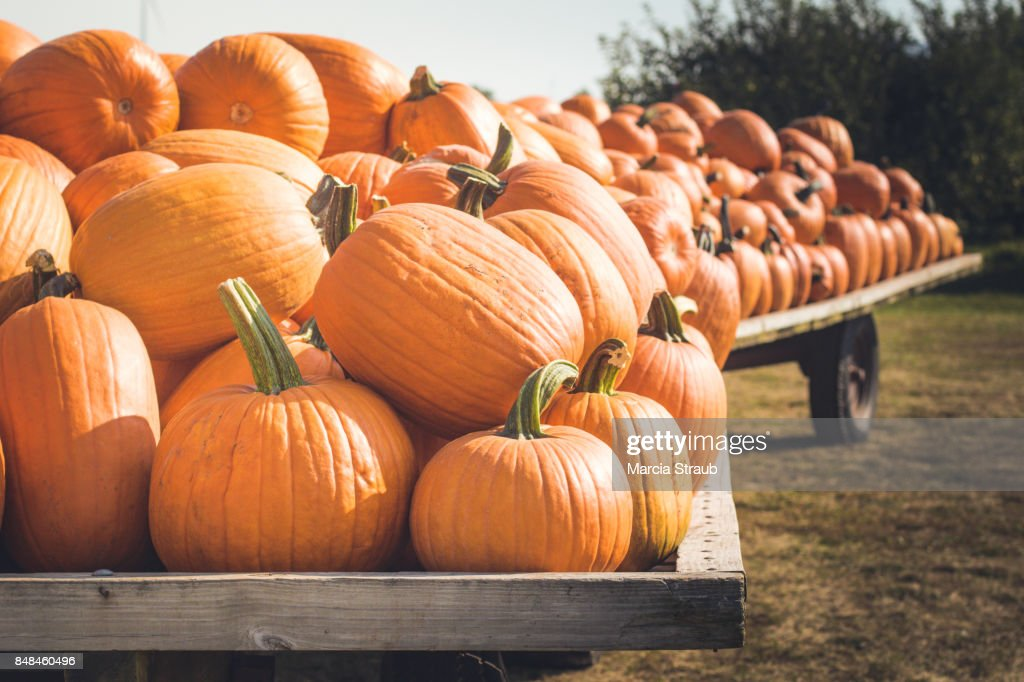Wagons Loaded with Pumpkins : Stock Photo