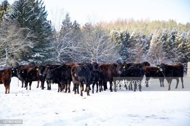 bovins wagyu ou wagu, dans un champ neigeux en hiver. - bétail photos et images de collection