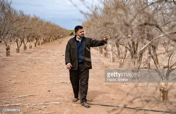 Wahid Aguertite, a farmer, walks among orange trees dried out by drought on Morocco's southern plains of Agadir in the country's agricultural...