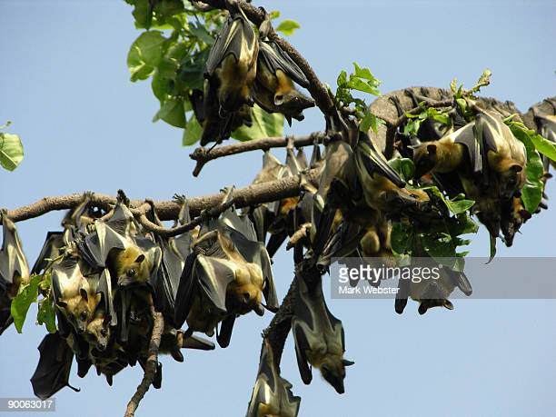 wahlberg's epauletted fruit bat, epomophorus wahlbergi, cabinda province, angola - perching stock photos and pictures