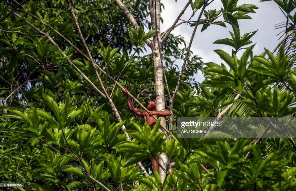 A Waiapi boy climbs up a Geninapo tree to pick fruits to make body