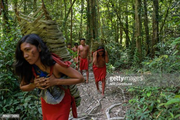 Waiapi people walk in the forest while carrying each of them about 50 kilos of manioc to prepare Caixiri a craft beer made with Manioc imbibed daily...