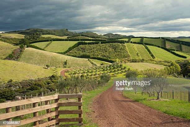 Waiheke Island, patchwork of olives and grapes
