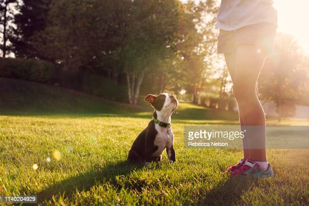 waist down of girl teaching boston terrier puppy to sit - loyalty stock pictures, royalty-free photos & images