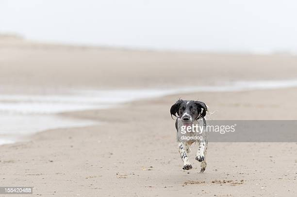 wait for me - springer spaniel stock photos and pictures