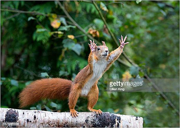 wait for me! - american red squirrel stock photos and pictures