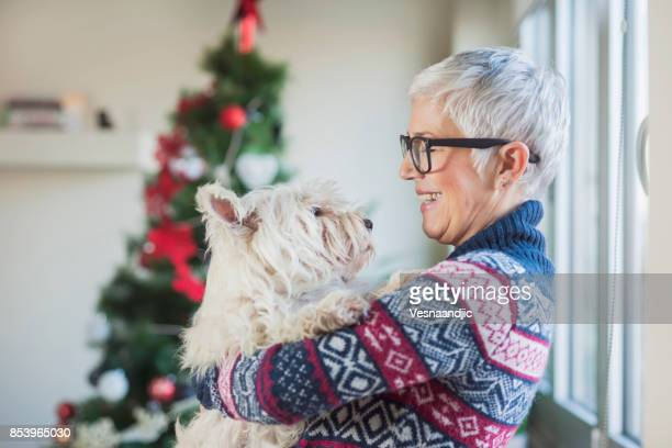 waiting for christmas - west highland white terrier stock photos and pictures