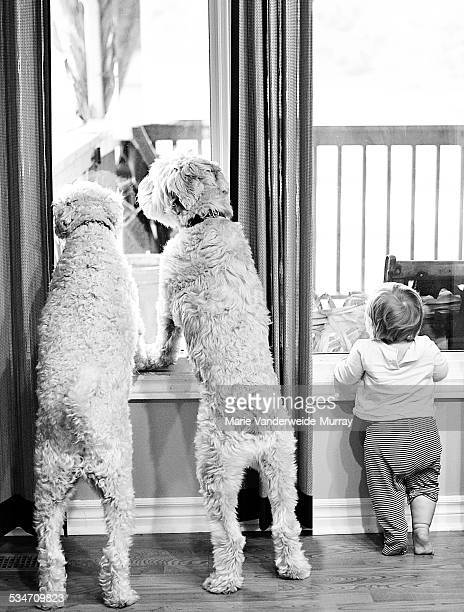 waiting for daddy - soft coated wheaten terrier stock photos and pictures