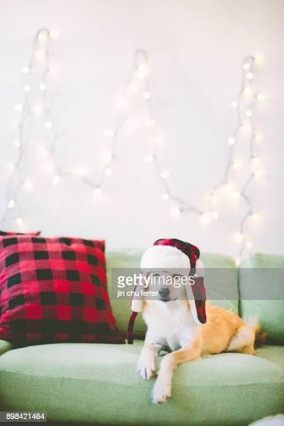 waiting for santa. - shiba inu winter stock pictures, royalty-free photos & images